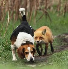fox-and-dogs
